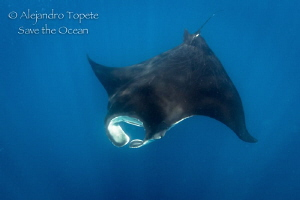 Black Manta Ray, Isla Contoy Mexico by Alejandro Topete